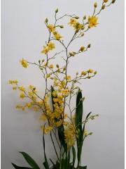 Орхидея Онцидиум (Oncidium) - жълт