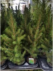 Смърч Коника (Picea glauca Conica)