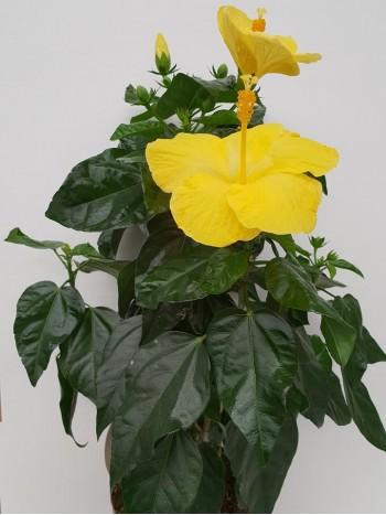 Хибискус  - Жълт - Голям размер