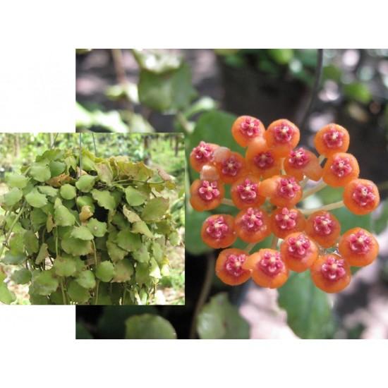 Хоя (Hoya endauensis)