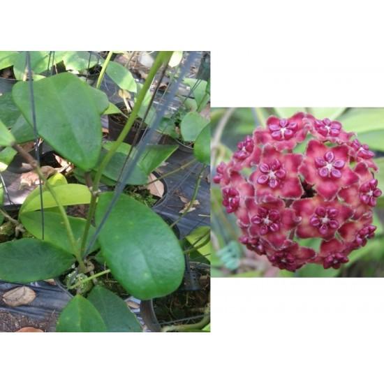 Хоя (Hoya excavata)
