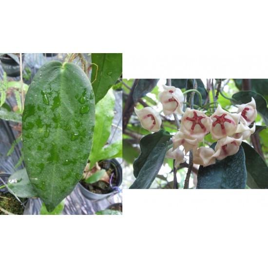 Хоя (Hoya archboldiana white)