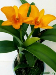 Катлея (Cattleya)
