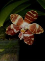 Орхидея Фаленопсис  (Phalaenopsis amboinensis Common Miki)