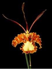 Орхидея Психопсис (Psychopsis Mariposa GV )