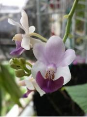 Орхидея Доритаенопсис (Doritaenopsis Anna Larati Soekardi x pulcherrima Blue)