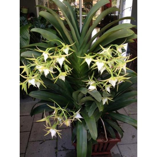Oрхидея Ангрекум (Angraecum crestwood GH Star)