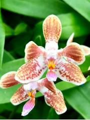 Орхидея Фаленопсис  (Phalaenopsis celebensis x mariae)
