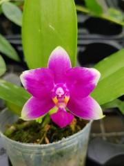 Орхидея Фаленопсис  (Phalaenopsis Vio Vio Cat Face 2 Eyes)