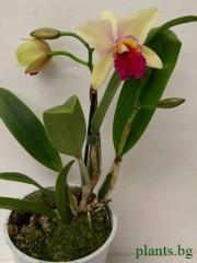 Катлея  (Cattleya) - PR3661
