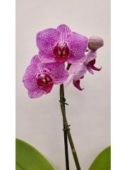Орхидея Фаленопсис  PR3829