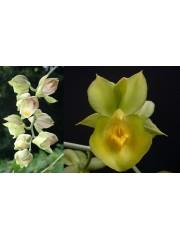 Орхидея Катасетум (Catasetum Nimrod x expansum Roja)