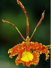 Орхидея Психопсис (Psychopsis Papilio )