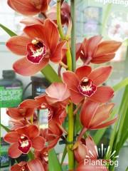Орхидея Цимбидиум - PR3789