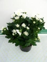 Хризантема - Бяла