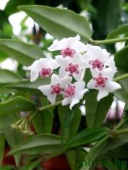 Хоя (Hoya bella)