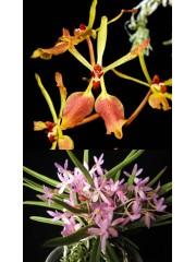 Орхидея Renanthera vietnamense x Neofinetia falcata Pink