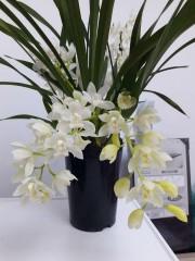 Орхидея Цимбидиум - Бял
