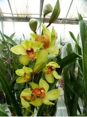 Орхидея Цимбидиум - PR3650