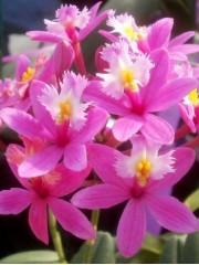 Орхидея Епидендрум (Еpidendrum) - розова
