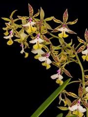 Орхидея Епидендрум (Еpidendrum stamfordianum)
