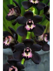 Орхидея Цимбидиум (Cymbidium Kiwi Midnight)