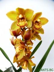 Орхидея Цимбидиум -  PR1282