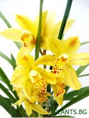 Орхидея Цимбидиум -  PR1281