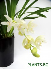 Орхидея Цимбидиум - каскаден  PR1291