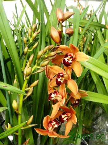 Орхидея Цимбидиум - PR1352