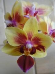 Орхидея Доритаенопсис   (Drtp. Sogo Gotris Variation)