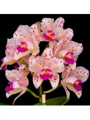Орхидея Катлея  (Cattleya amethystoglossa)