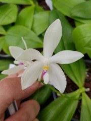 Орхидея Фаленопсис  (Phalaenopsis Tetraspis)