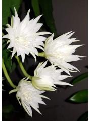 Епифилум Epiphyllum Pumilum - Резник