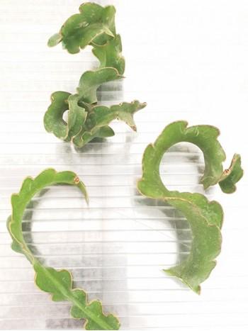 Епифилум (Epiphyllum Guatemalensis) - Резник