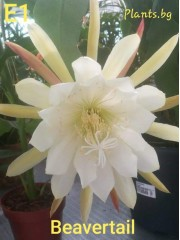 Епифилум (Epiphyllum bevertail) -Резник
