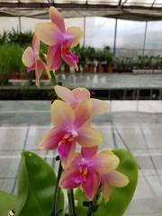 Орхидея - Лиодоро