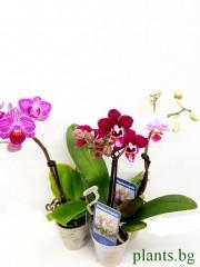 Орхидея Фаленопсис -мини - микс 3 броя -цвят на късмета