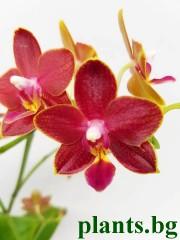 Орхидея Фаленопсис - PR2699