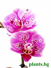 Орхидея Фаленопсис - PR2731