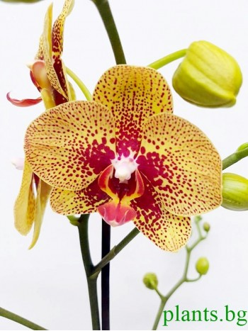 Орхидея фаленопсис PR2391
