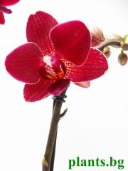 Орхидея Фаленопсис - PR2730