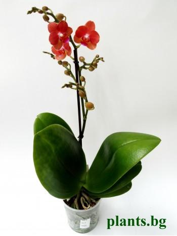 Орхидея Фаленопсис - PR2698