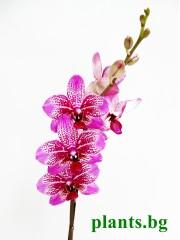 Орхидея Фаленопсис - PR2729