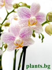 Орхидея Фаленопсис - PR2694