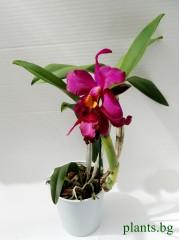 Катлея  (Cattleya) - PR3659