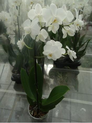 Орхидея Фаленопсис - Бял