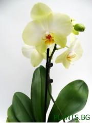 Орхидея Фаленопсис  PR1335