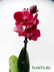 Орхидея Фаленопсис  PR1331