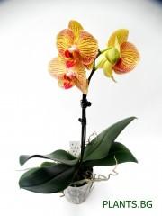 Орхидея Фаленопсис  PR1336
